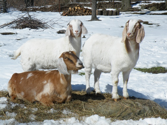 Some of Sandy's Goats
