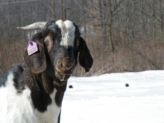 Male goat with Horns