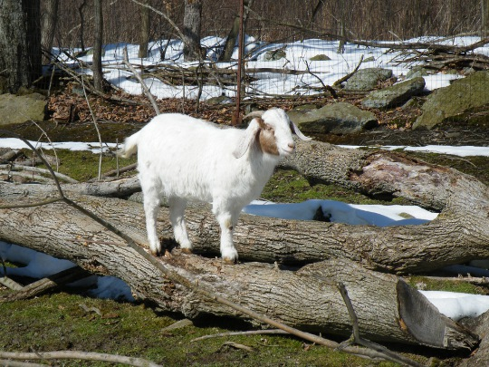Goats Like to Climb