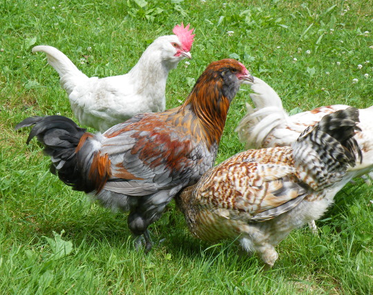 Adult Chickens