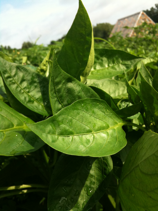 Pepper Leaves