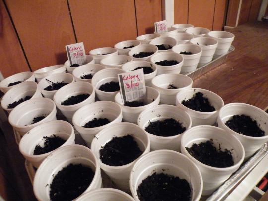 Celery Seeds in Dirt