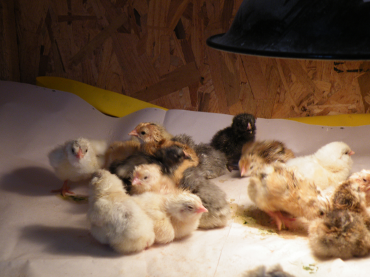 Second Batch of Chicks
