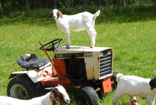 Goats Like to Climb....