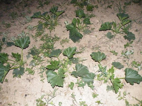 Small Zucchini Plants