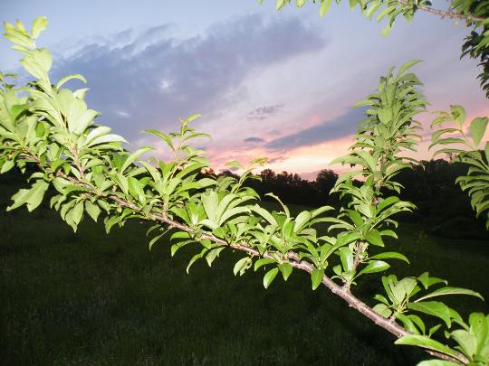 Plum or Peach Tree