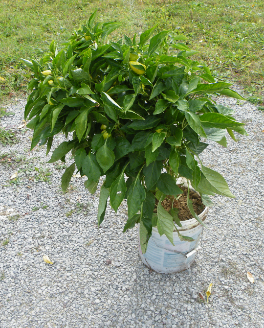 Large Pepper Plant