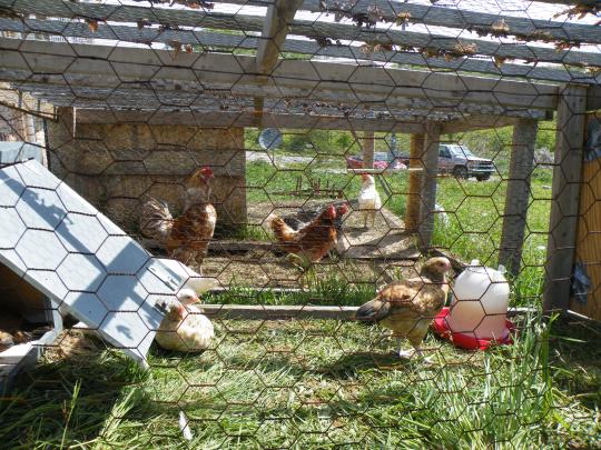 Temporary Chicken Coop