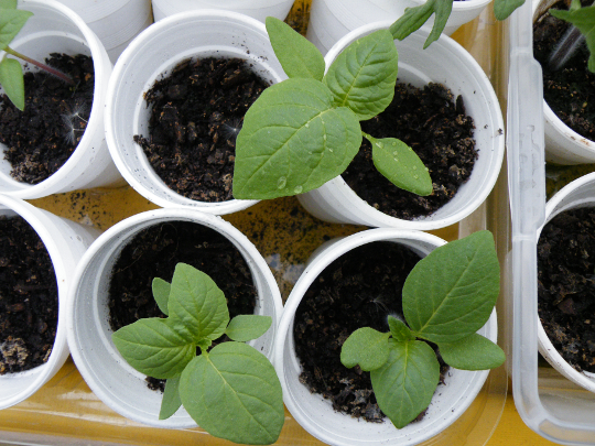 Tomatillo Seedlings