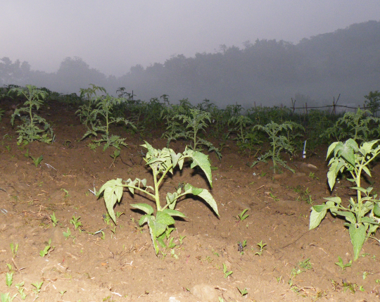 Tomatoes in the Fog
