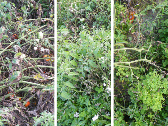 Tomato Trials