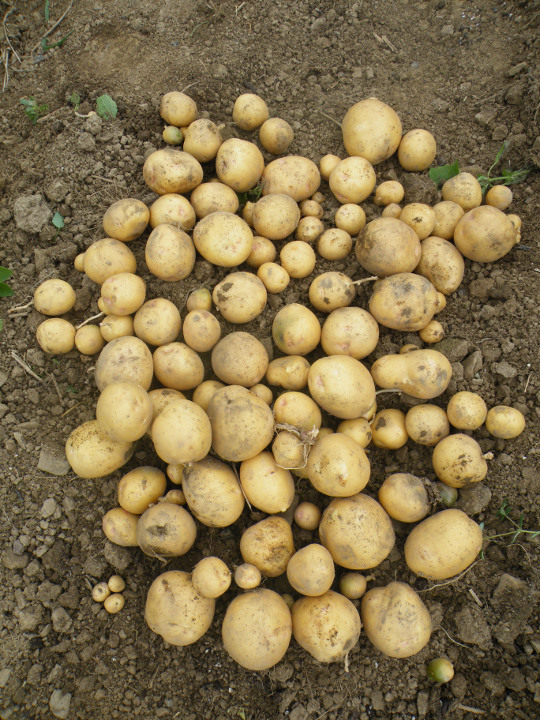 Uncut Seed Potatoes