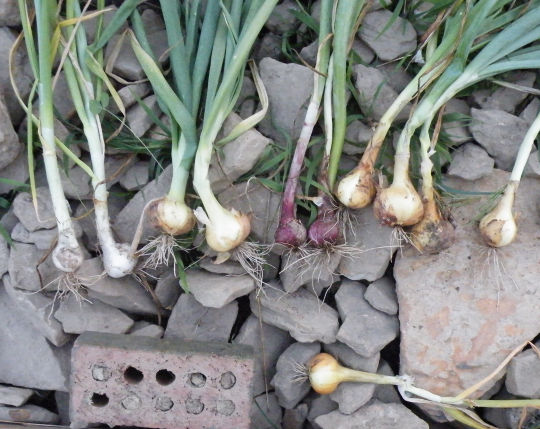 4 Varieties of Onions