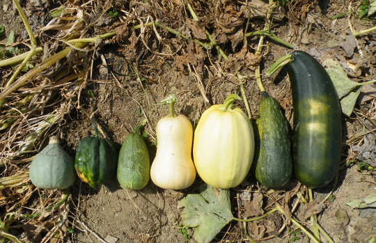 Waltham Butternut - Winter Squash