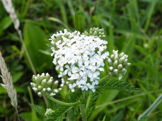 Yarrow  (Achillea millefolium)